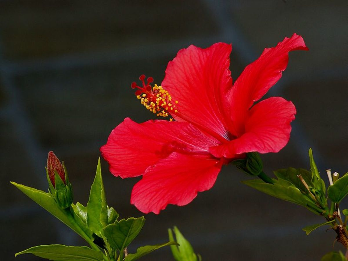 The bright red hibiscus is my favorite Caribbean flower.