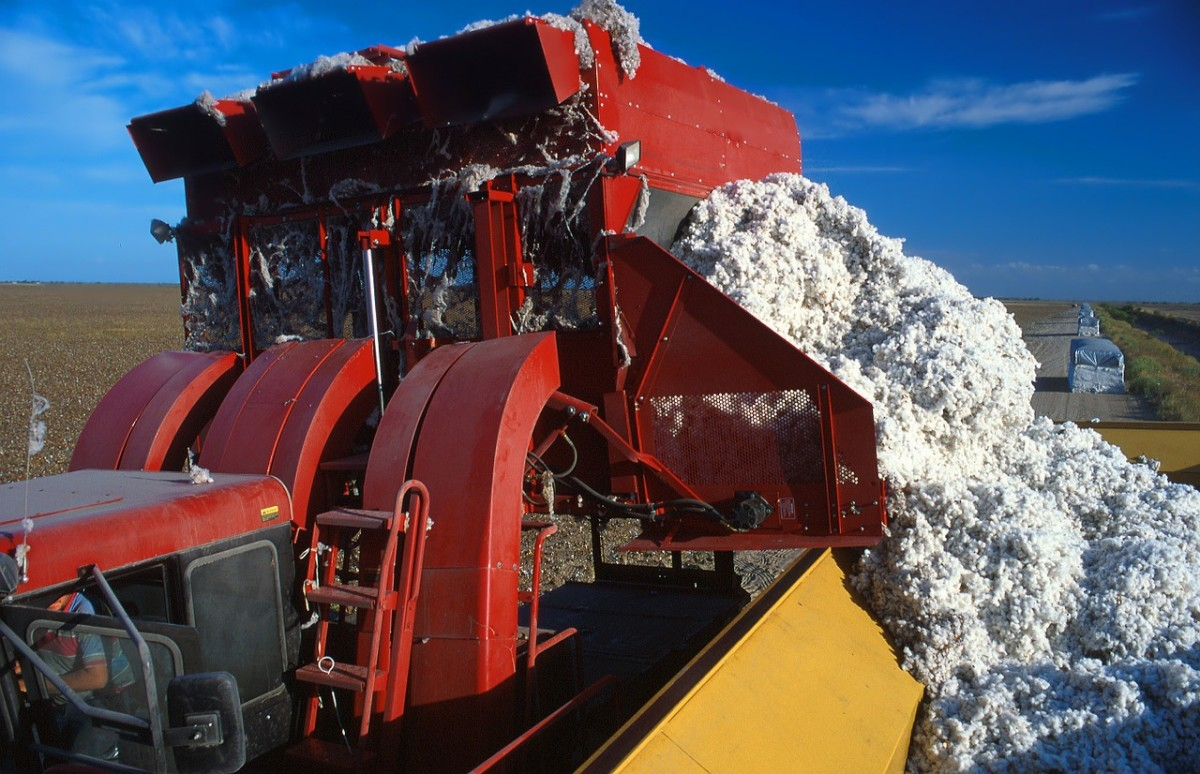 Cotton picker dumping cotton