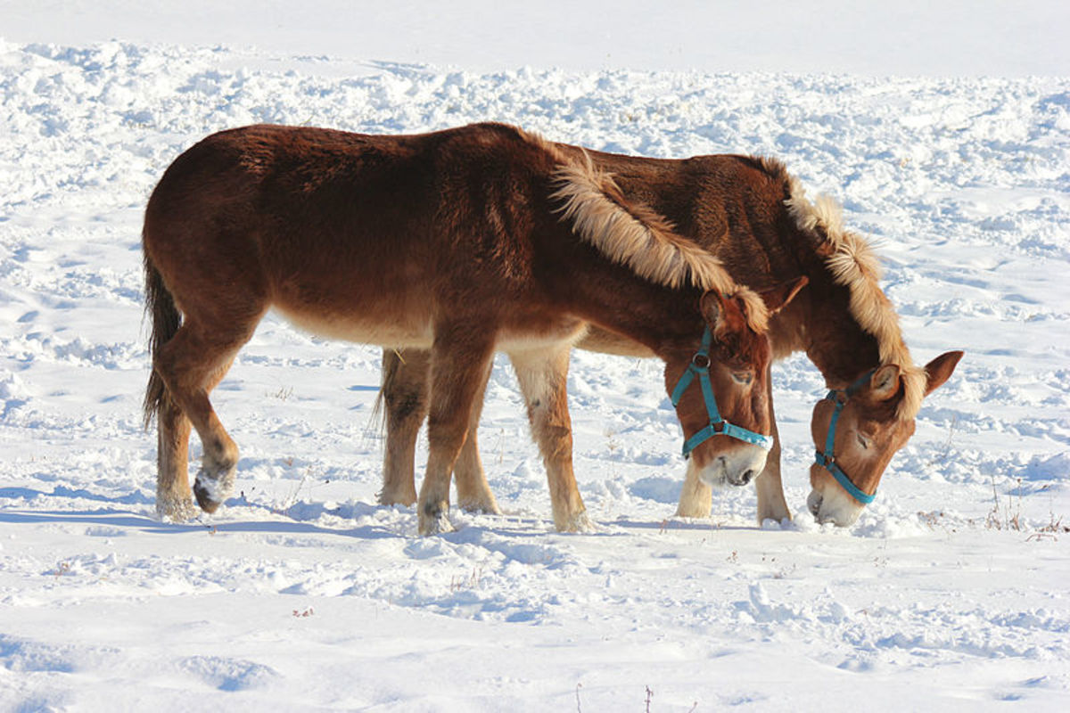 A day off  Mules leisurely enjoying sun and snow.