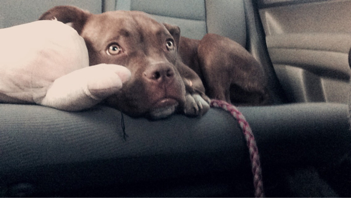 Our first car ride home from VA to CT she was scared.