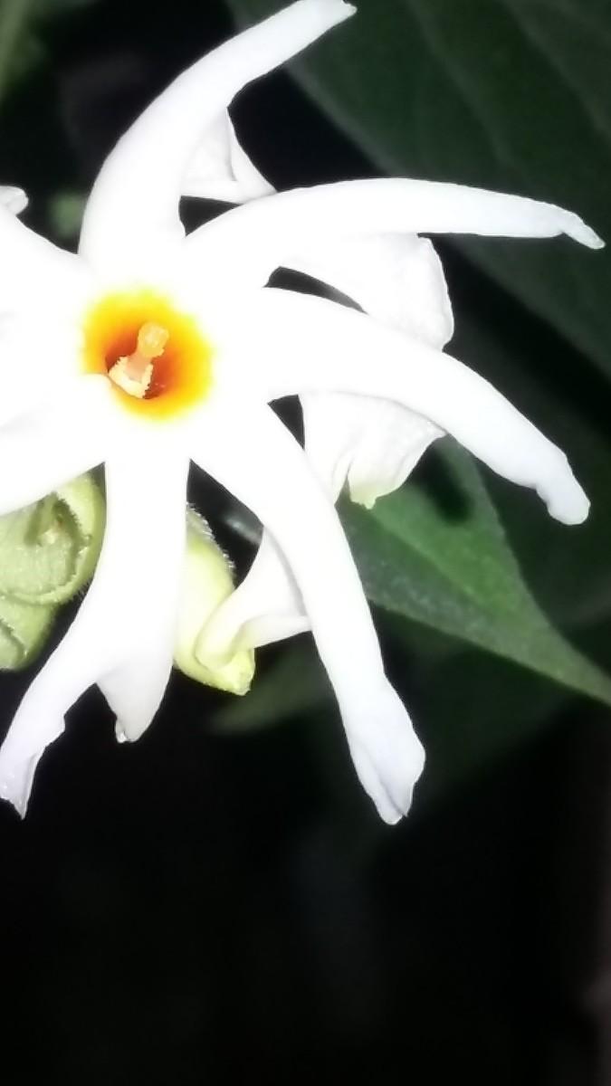 Flower of Paarijaat, the Tree of Sorrow.