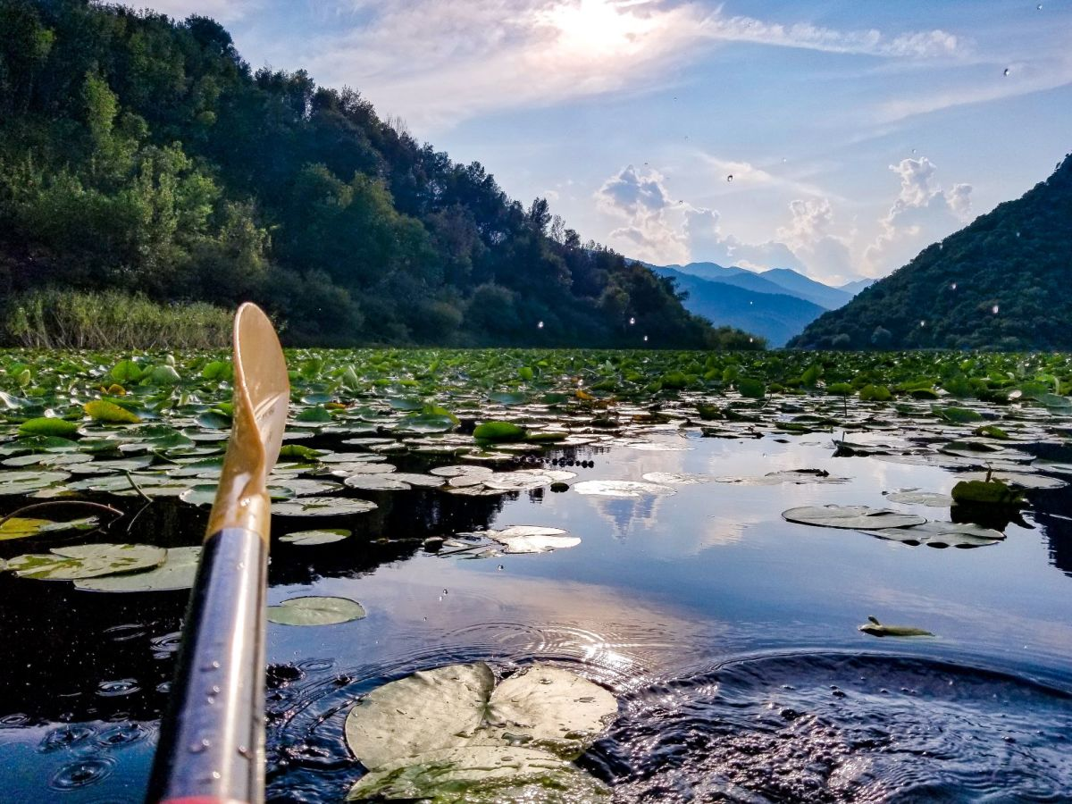 Water lilies on Lake Skadar