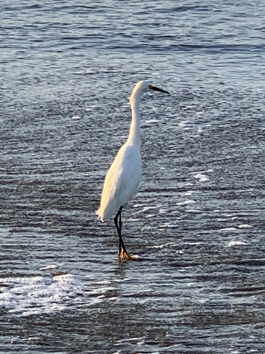 Egret getting breakfast.