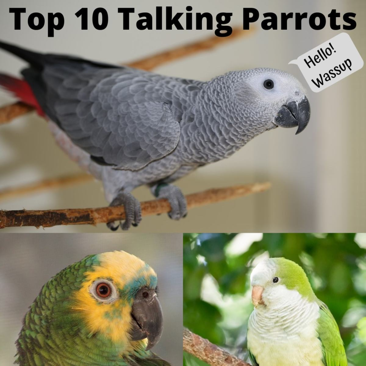 Top 10 Parrots Who Can Talk