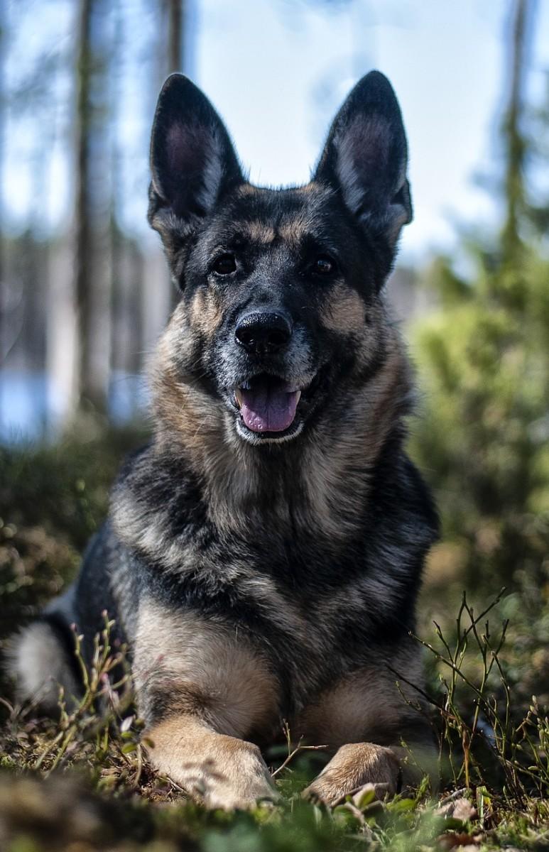 german-shepherd-service-dogs