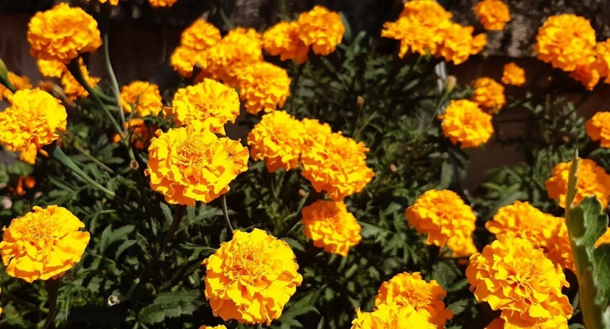 The marigold is one of October's birth flowers and is seen here in orange.