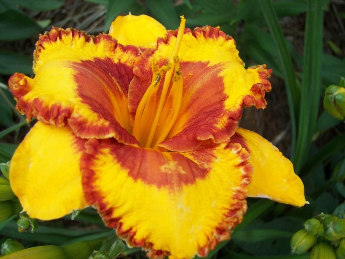 The fiesta flirt daylily is gold with a red eye and a prominent red band around the edges.