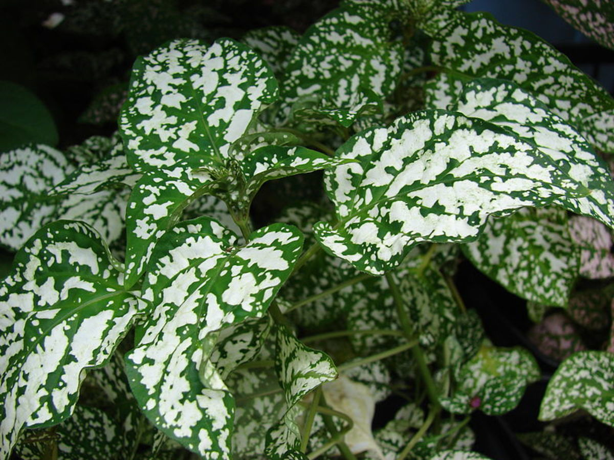 An example of a polka dot plant with white spots.