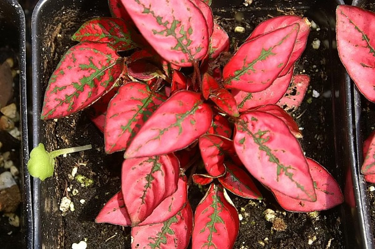 A polka dot plant with red leaves,