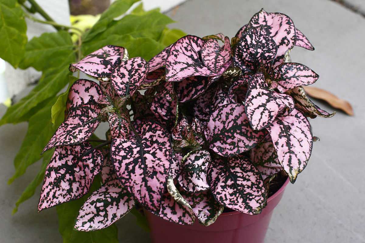 how-to-grow-polka-dot-plants-indoors-or-outdoors
