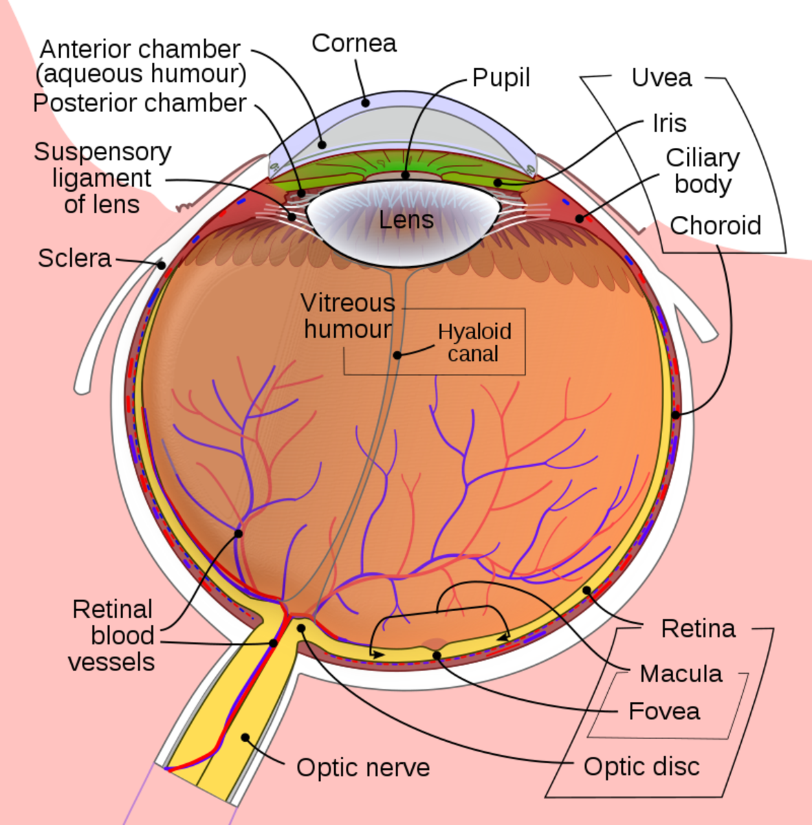 The human eye is a complex structure. It many constituent parts have to all function in harmony in order to maintain healthy vision.
