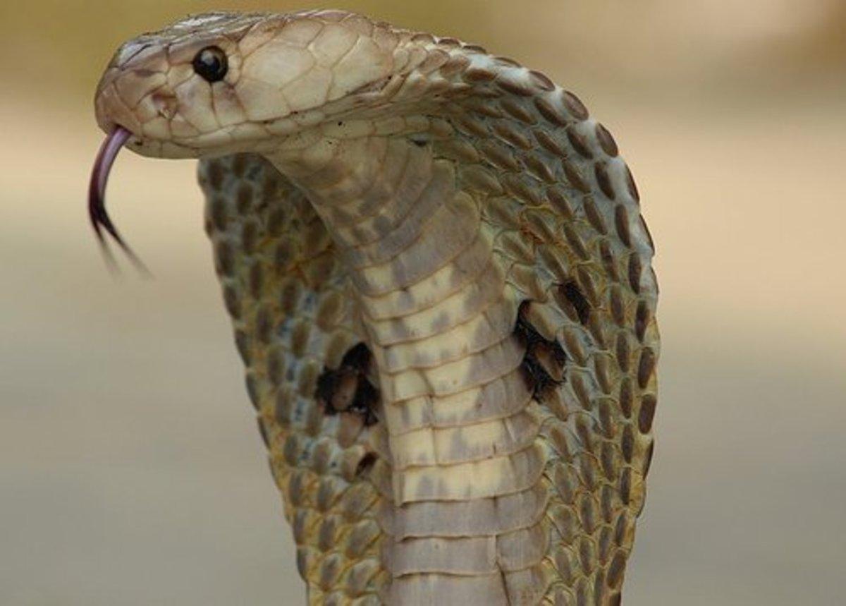 The Indian Cobra.