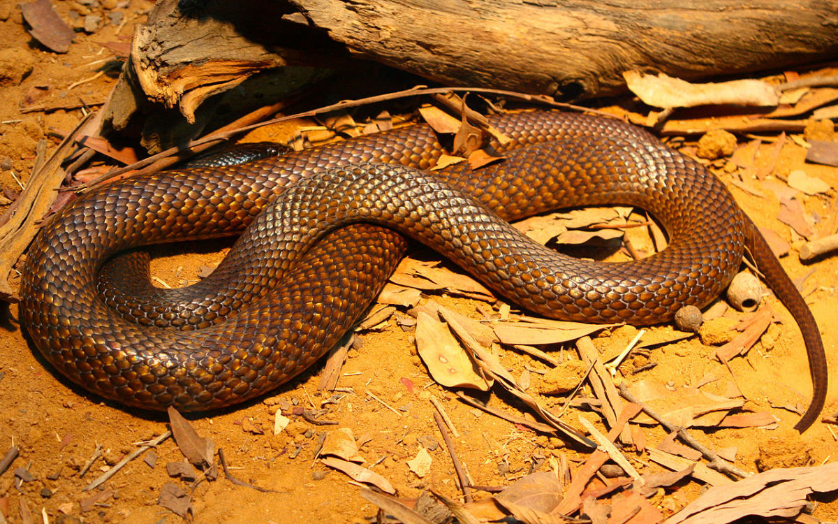 The Western Brown Snake.