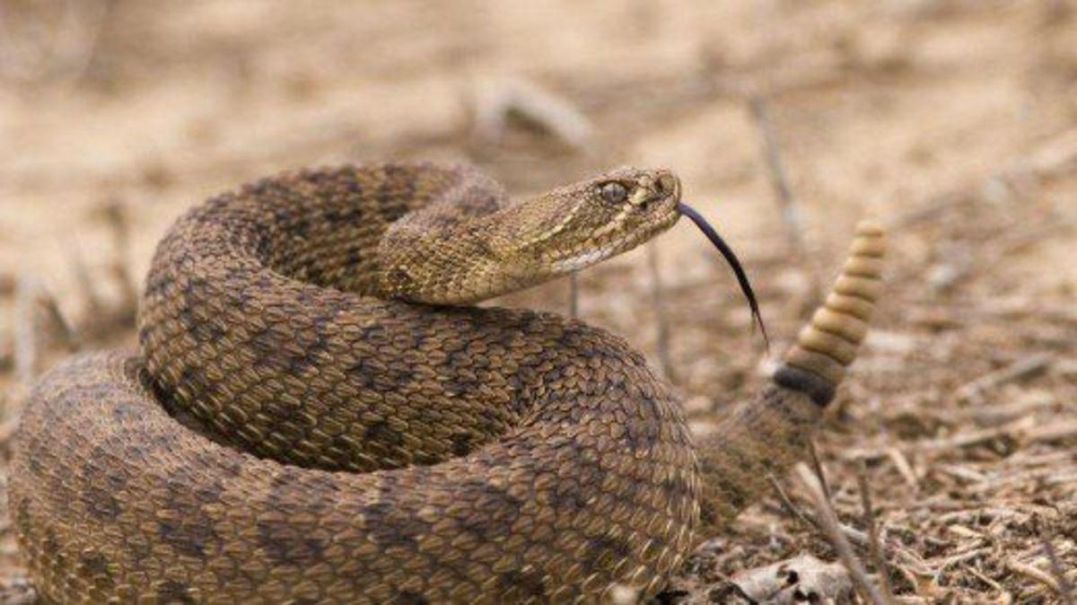 The deadly Mojave Rattlesnake.