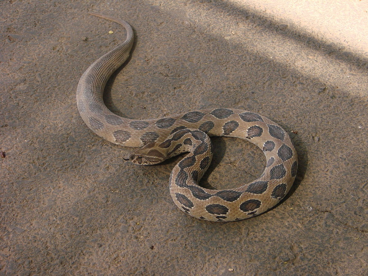 """Russell's Viper (also known as the """"Chain Viper"""")."""