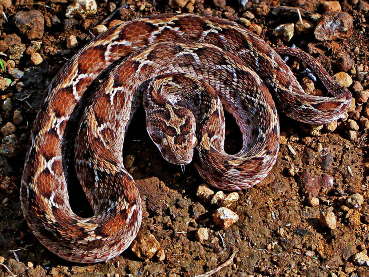 The Saw-Scaled Viper.
