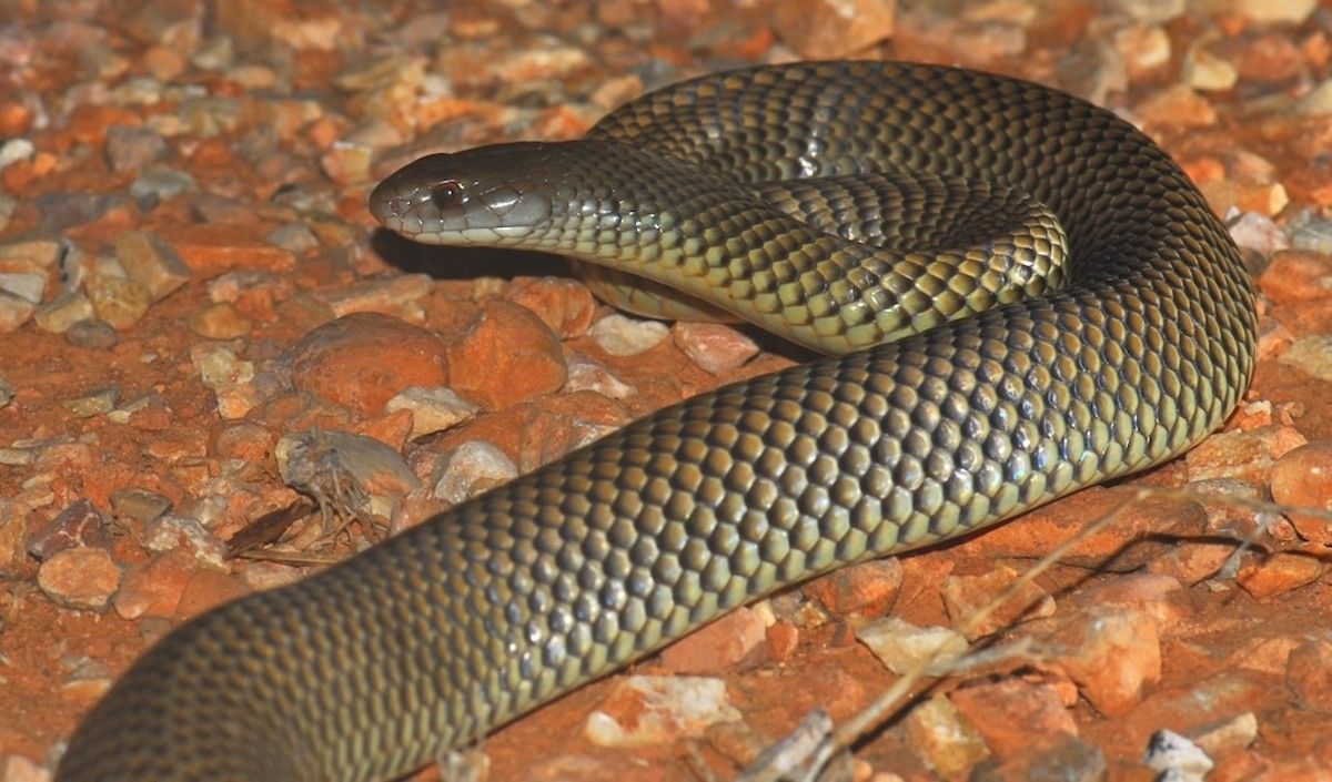 The King Brown Snake