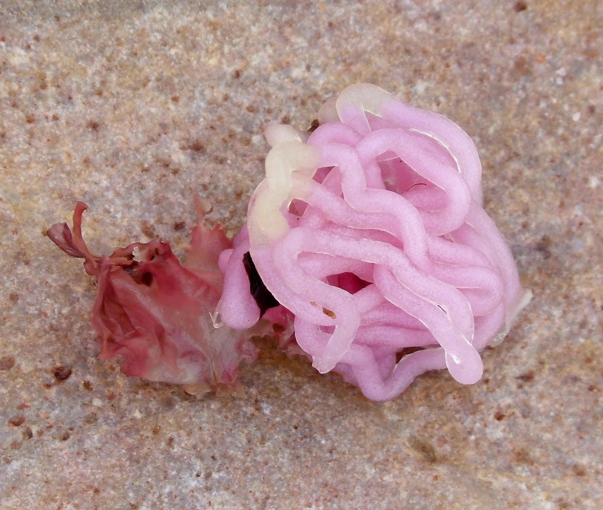 Eggs of a sea hare in Scotland