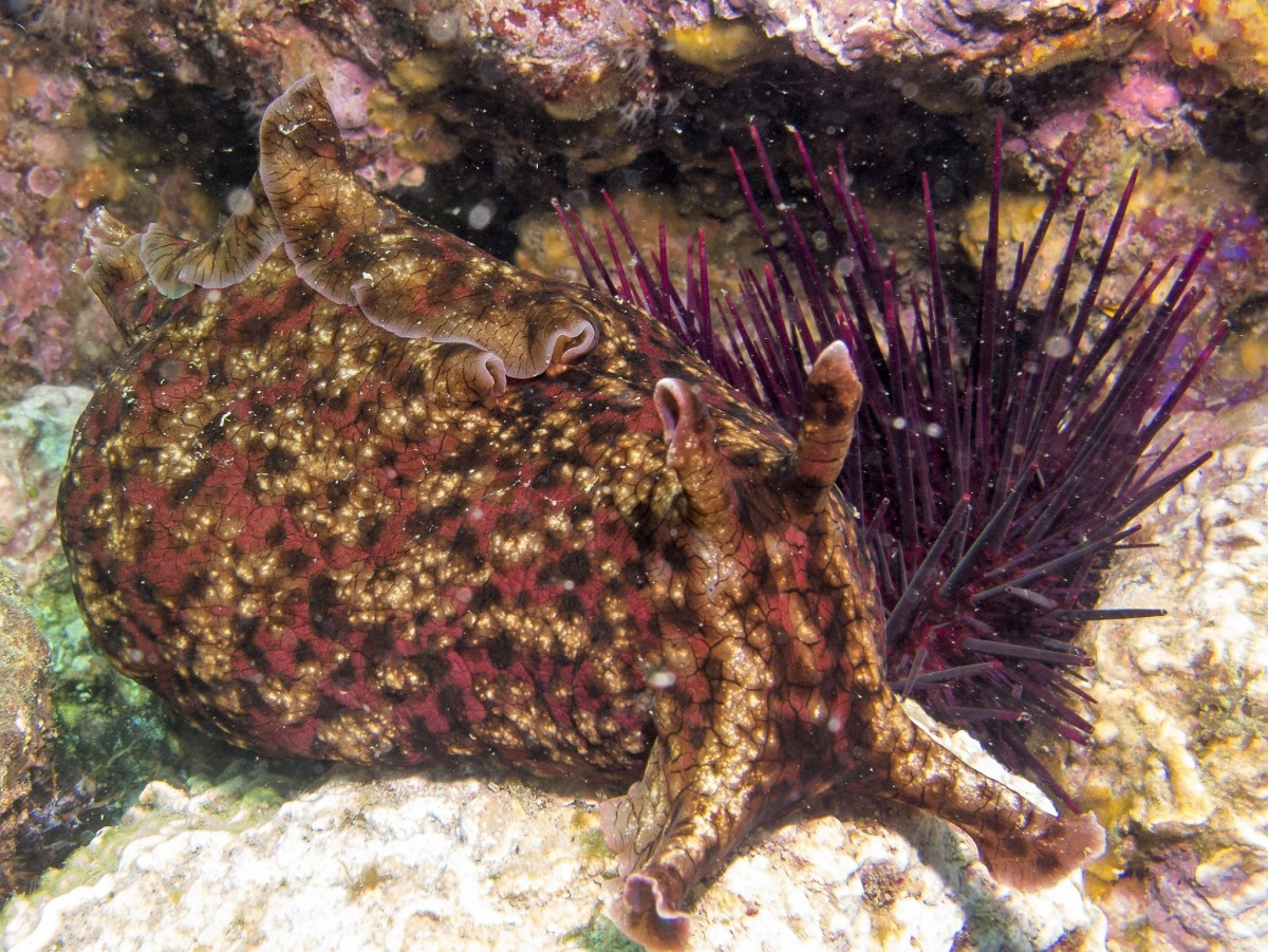 A front view of a California sea hare
