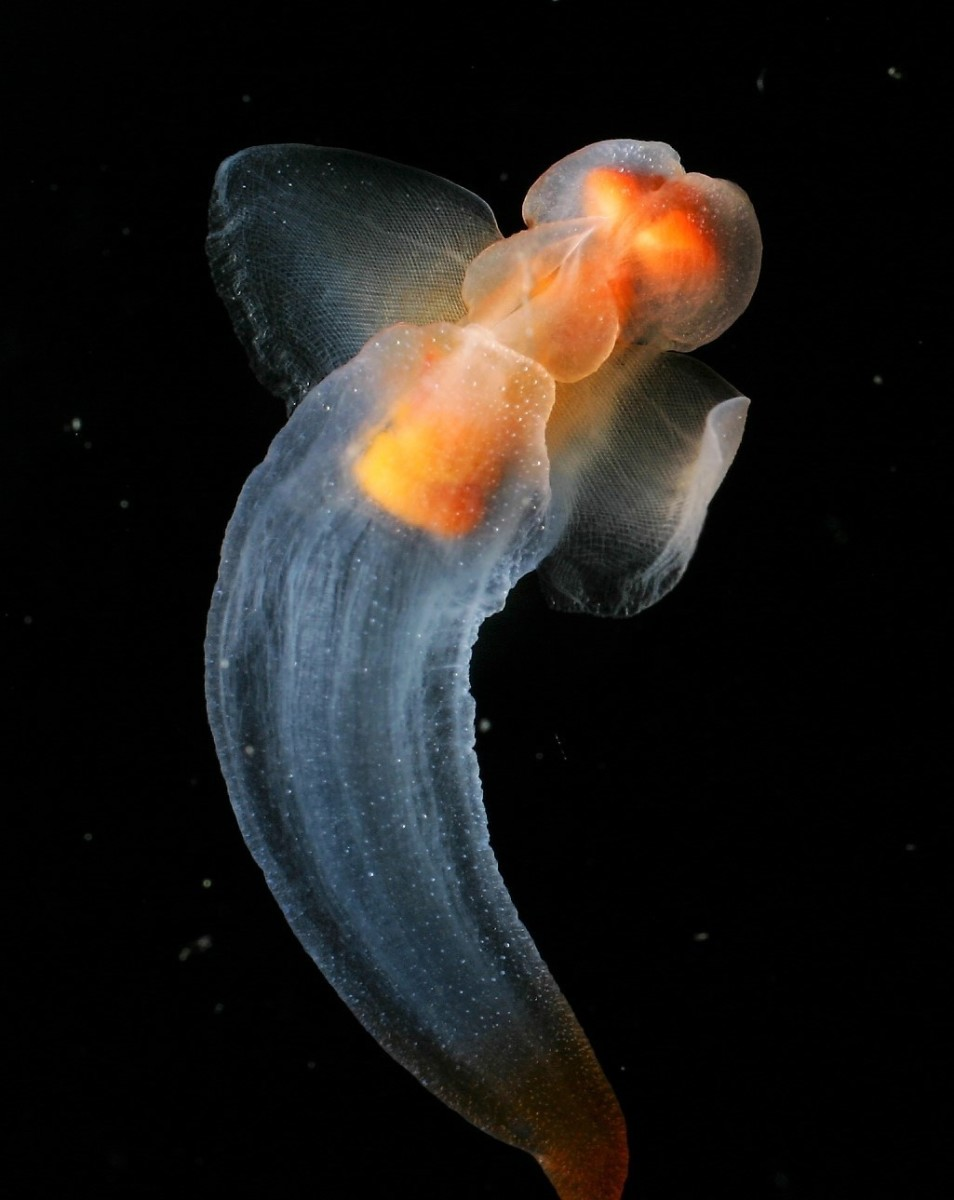 Clione limacina is a sea angel.