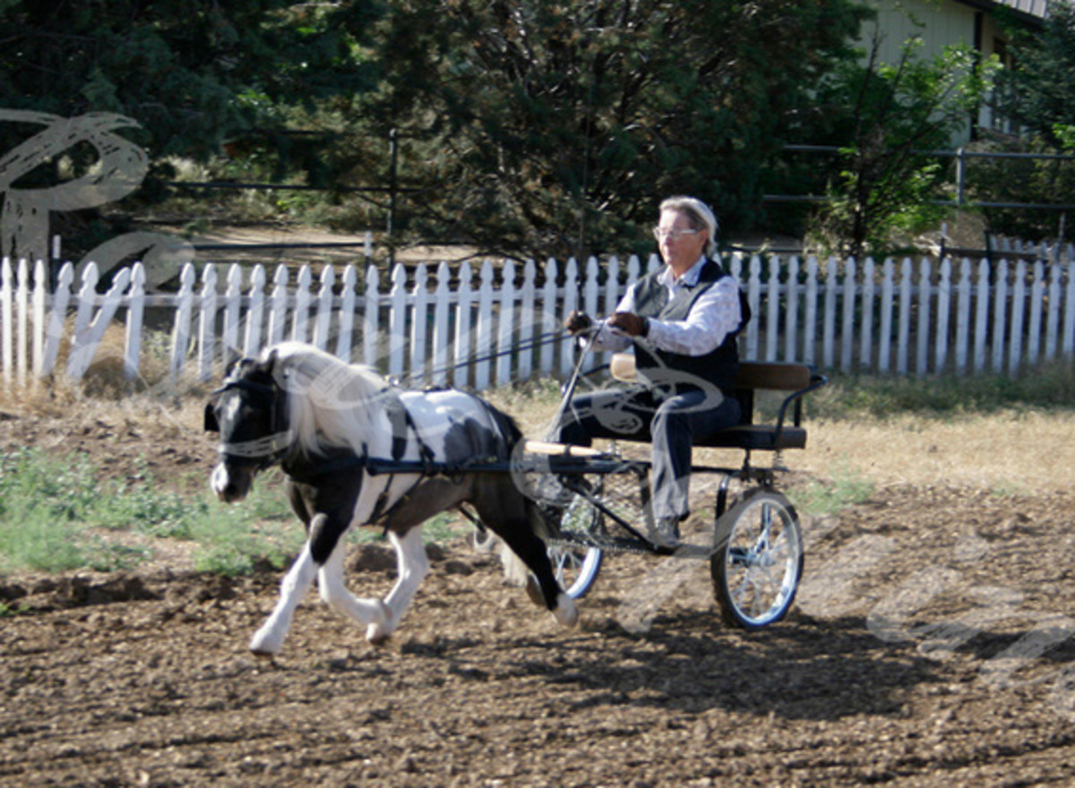 Rascal driving in an Easy Entry cart. He is essentially a pleasure driving horse, driven at breed shows. His harness has no tree and the breast collar is fairly thin. Pads have been added under the saddle and breast collar.