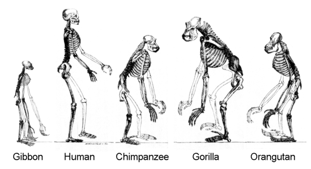The image depicts the comparative anatomy of some of the prominent species of Primates, showing their upright statures.