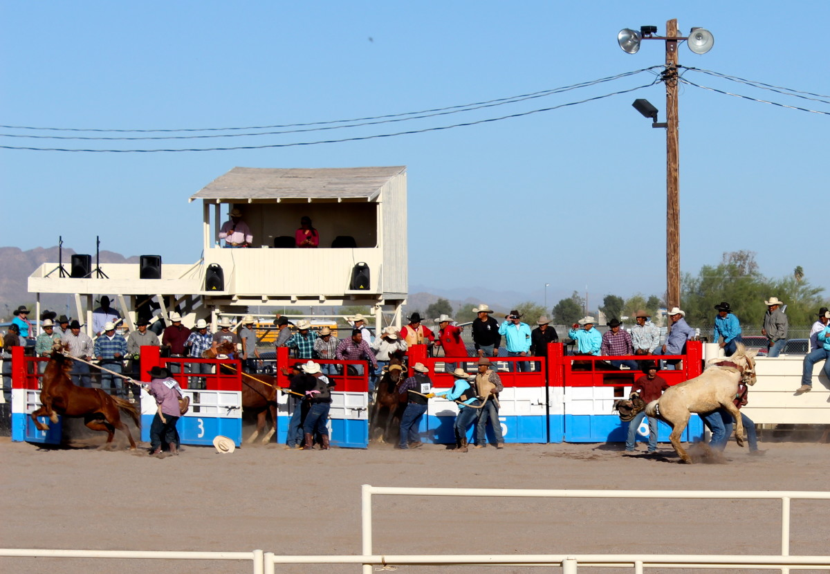 The chutes open on the wild horse race.