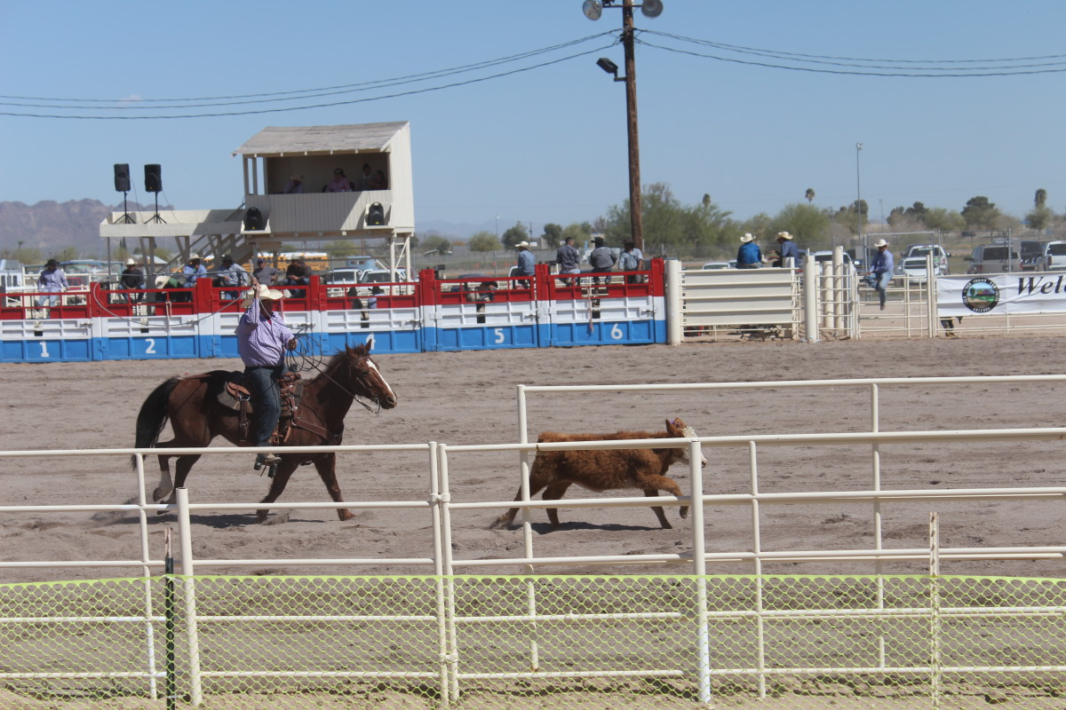 A tie-down roper in action.