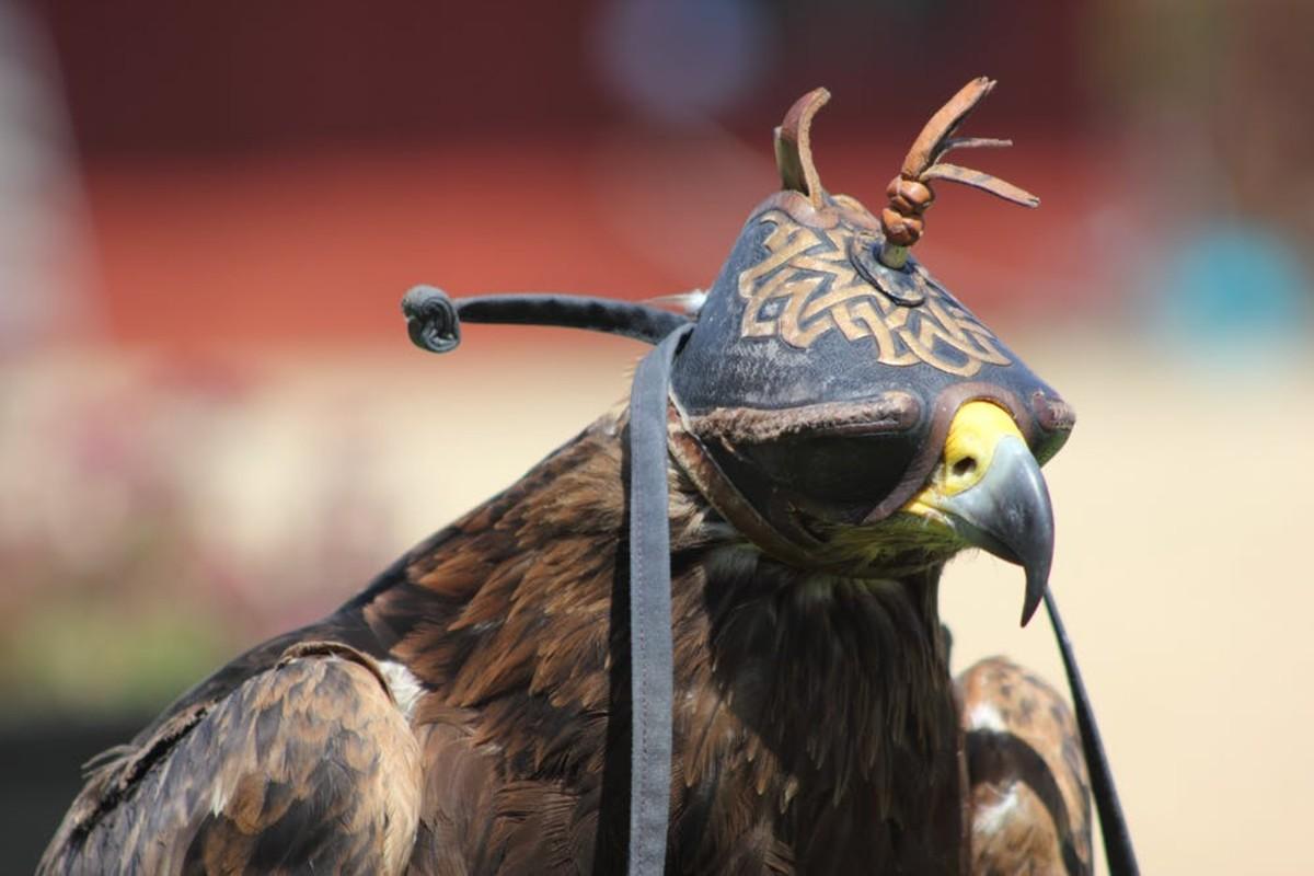 A hooded hawk