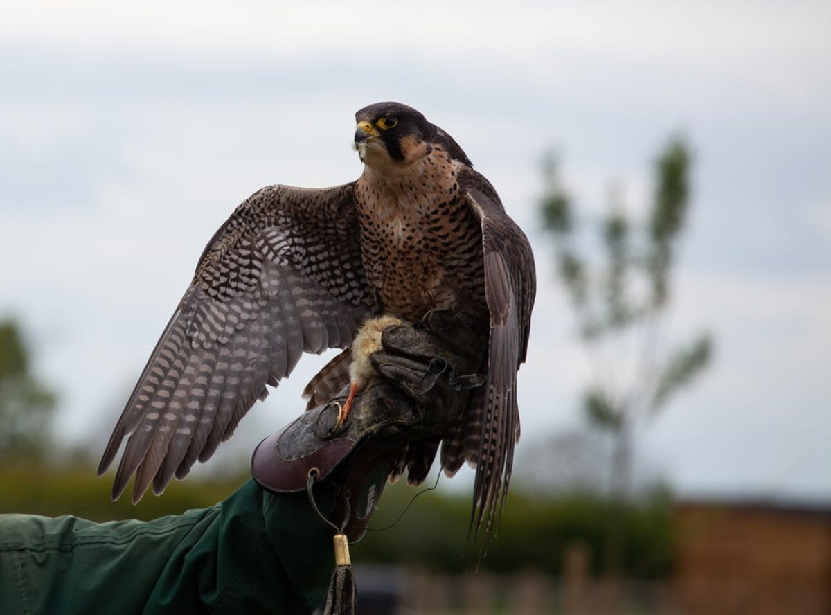 A hawk perches on a glove.