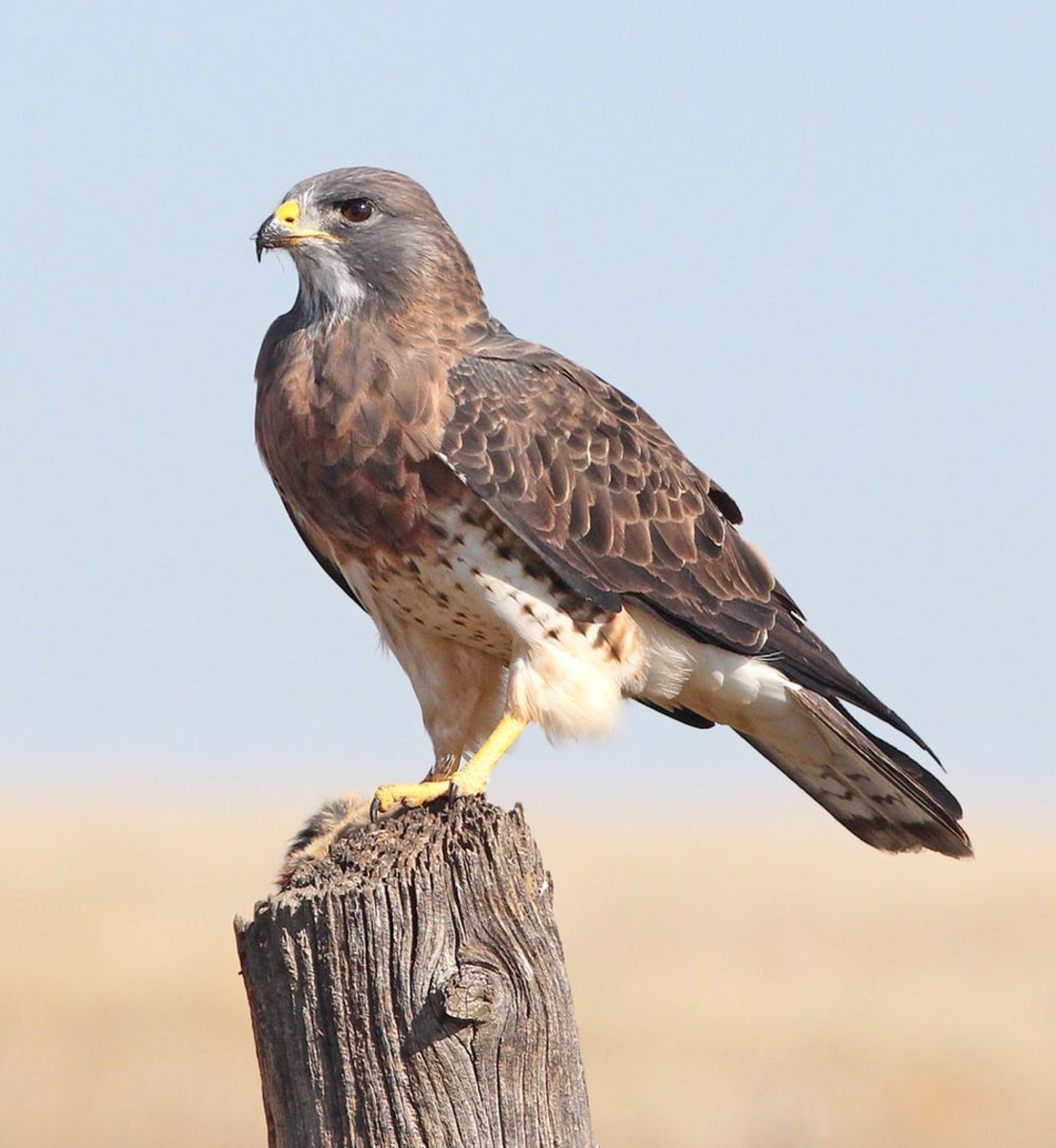 A wild hawk perches in the desert
