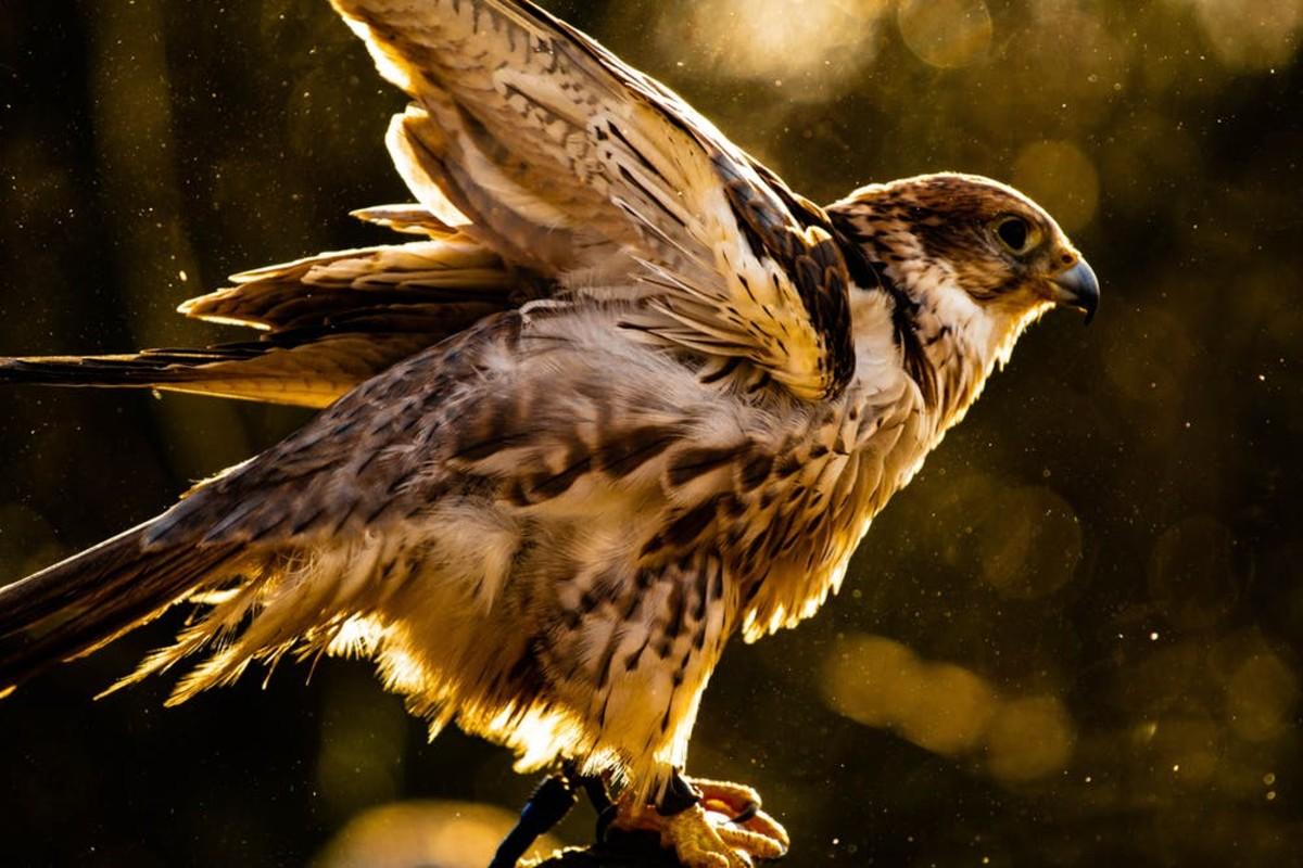 A captive bird of prey ruffles it's feathers.