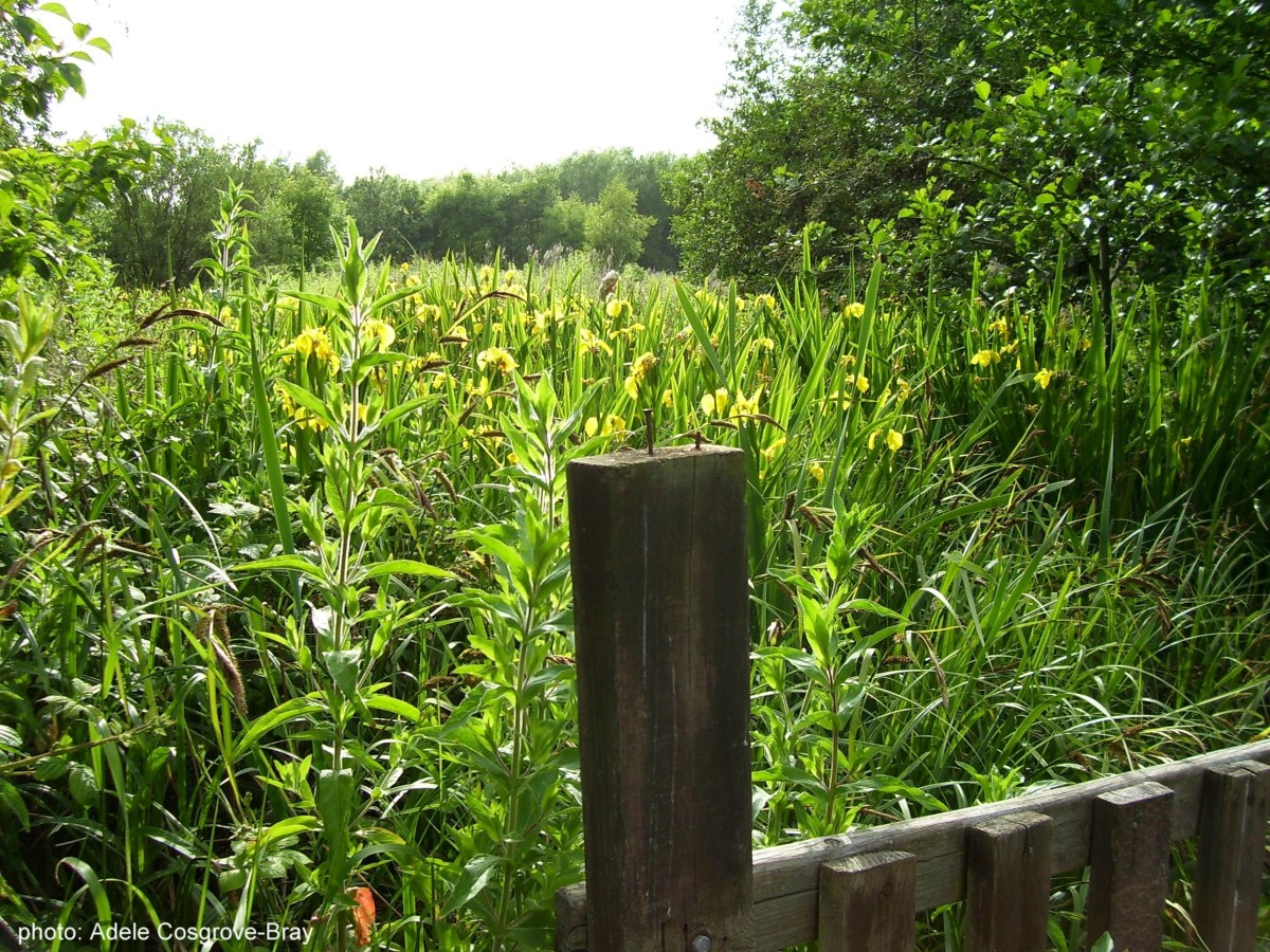 A wooden bridge crosses the stream choked with yellow flag iris and bullrushes.