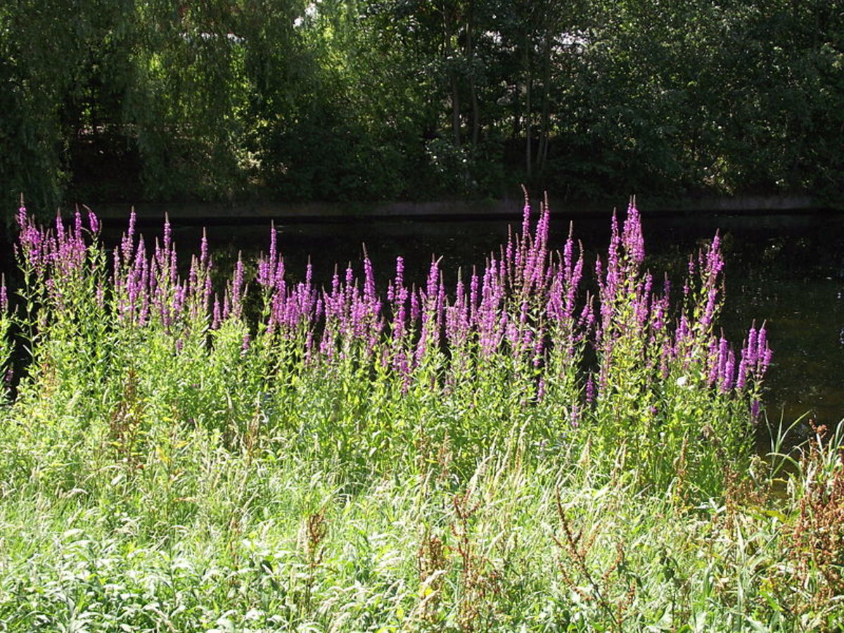 Purple loosestrife is often found growing along the banks of waterways.