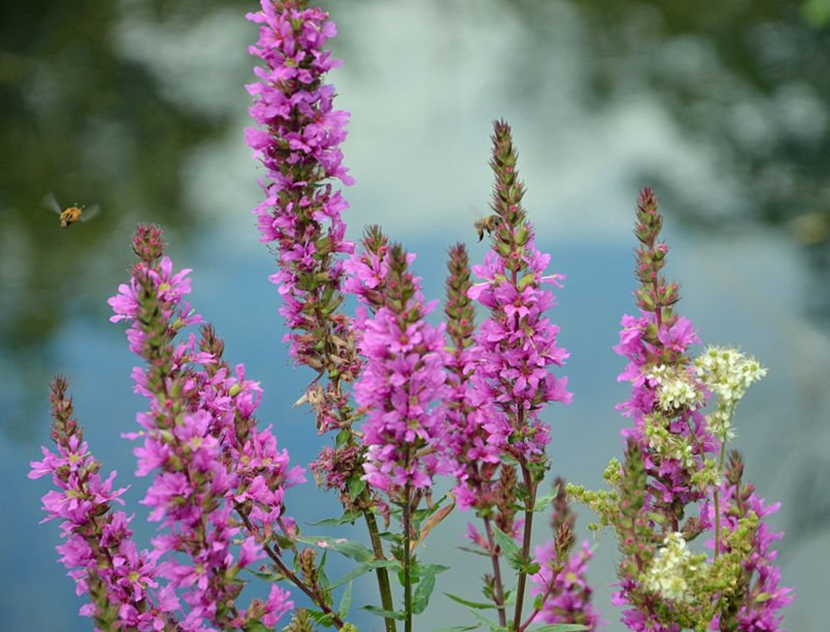 purple-loosestrife-an-invasive-plant