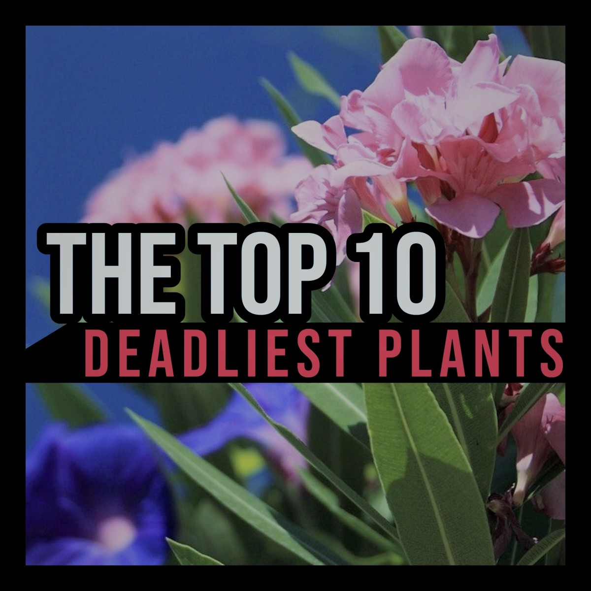 From Jimson Weed to Hemlock, this article ranks the 10 deadliest plants in the world.