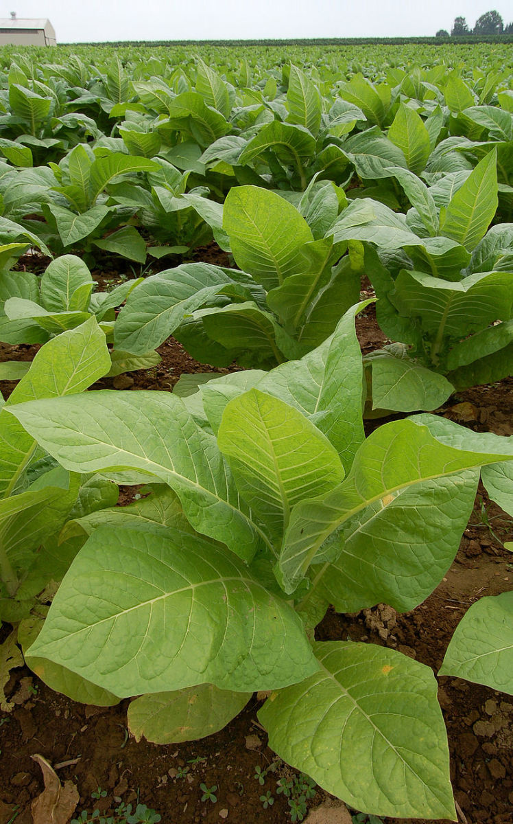Field of tobacco plants.