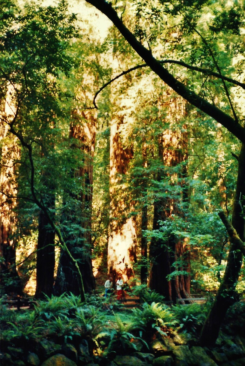 Muir Woods National Monument - See how tiny the people are in this environment!