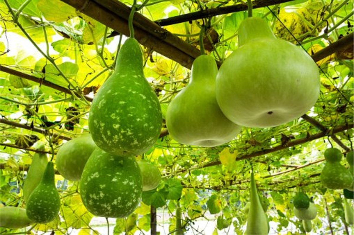 the-small-gourd-1