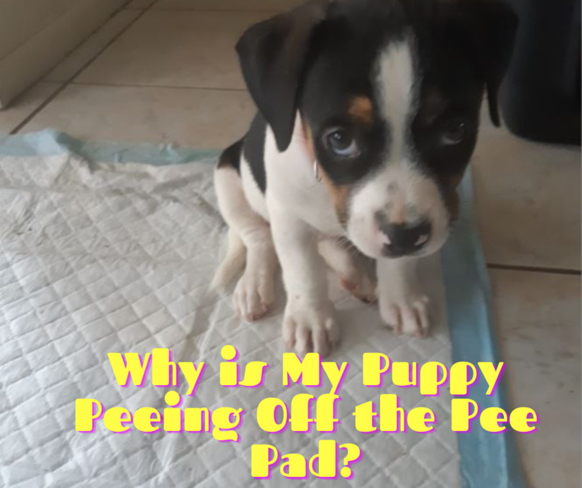 Why Does My Dog Pee off the Pee Pad (or Right Next to It)?