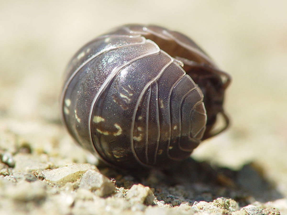 Woodlouse (roly-poly or pill bug) are great for your garden and act as nature's recyclers.