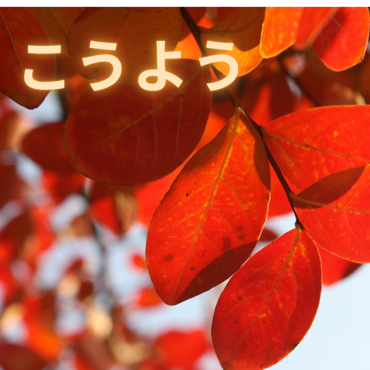 Kouyou or leaves changing color in fall.