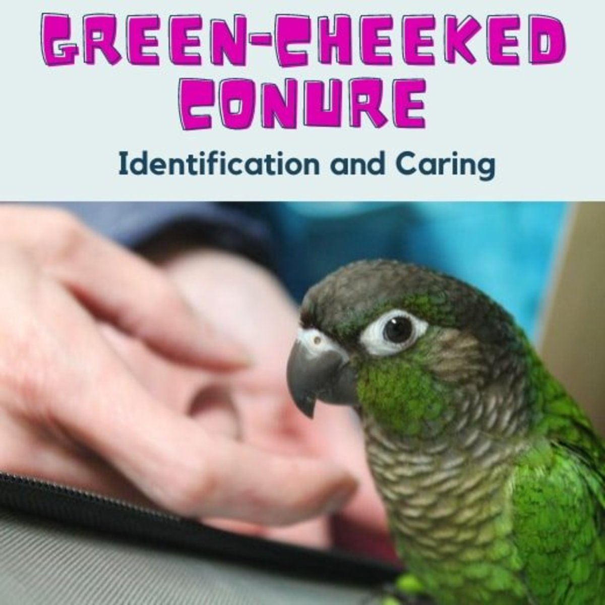 Green Cheek Conures - Identification and Caring