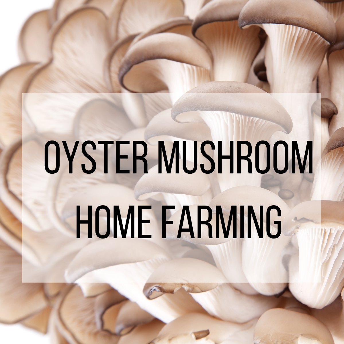 This article will provide guidance on how to set up an oyster mushroom growing farm in your own home.