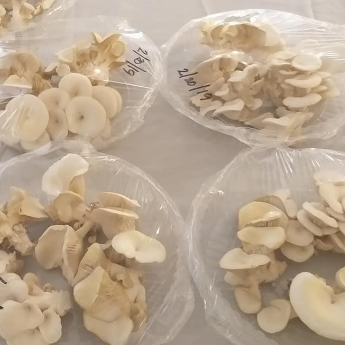 I pack the mushrooms in 250-gram packs  to be delivered to customers. I also write the date of when they were harvested.