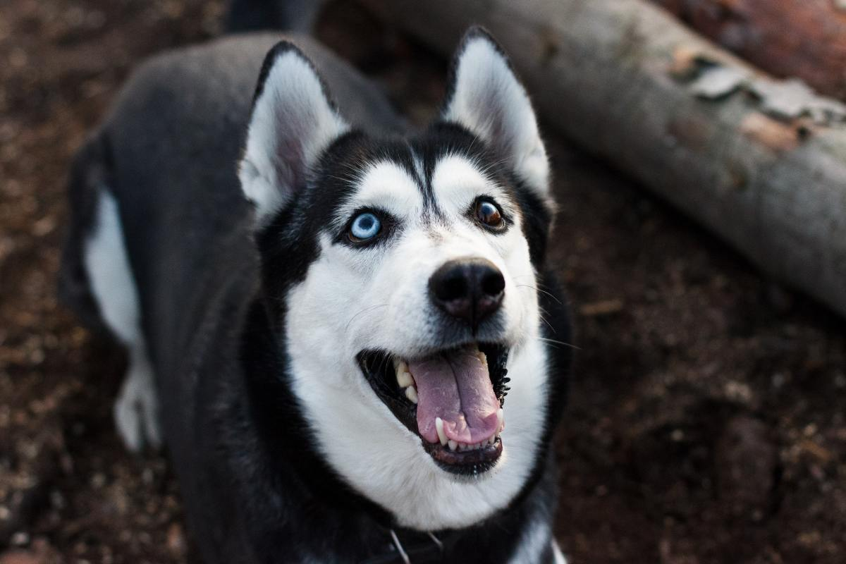 Siberian Huskies can be unpredictable and easily startled around small kids.