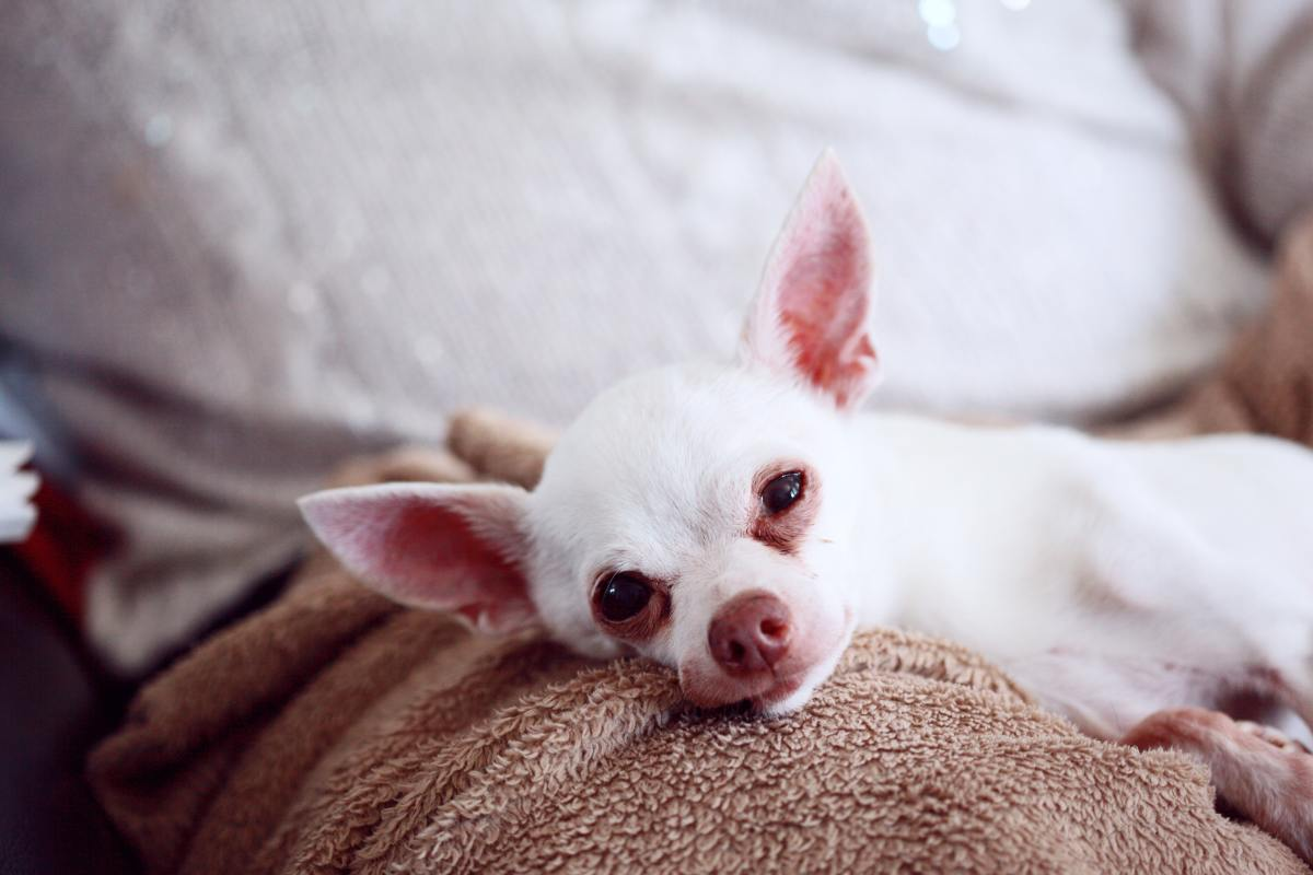 Chihuahuas can be easily scared and their bites often go unreported.
