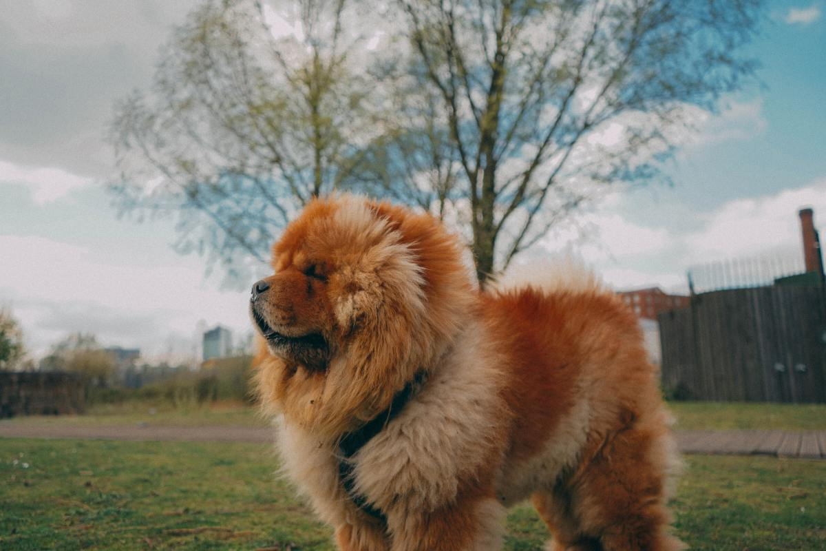 Chow Chows can deliver a serious bite.
