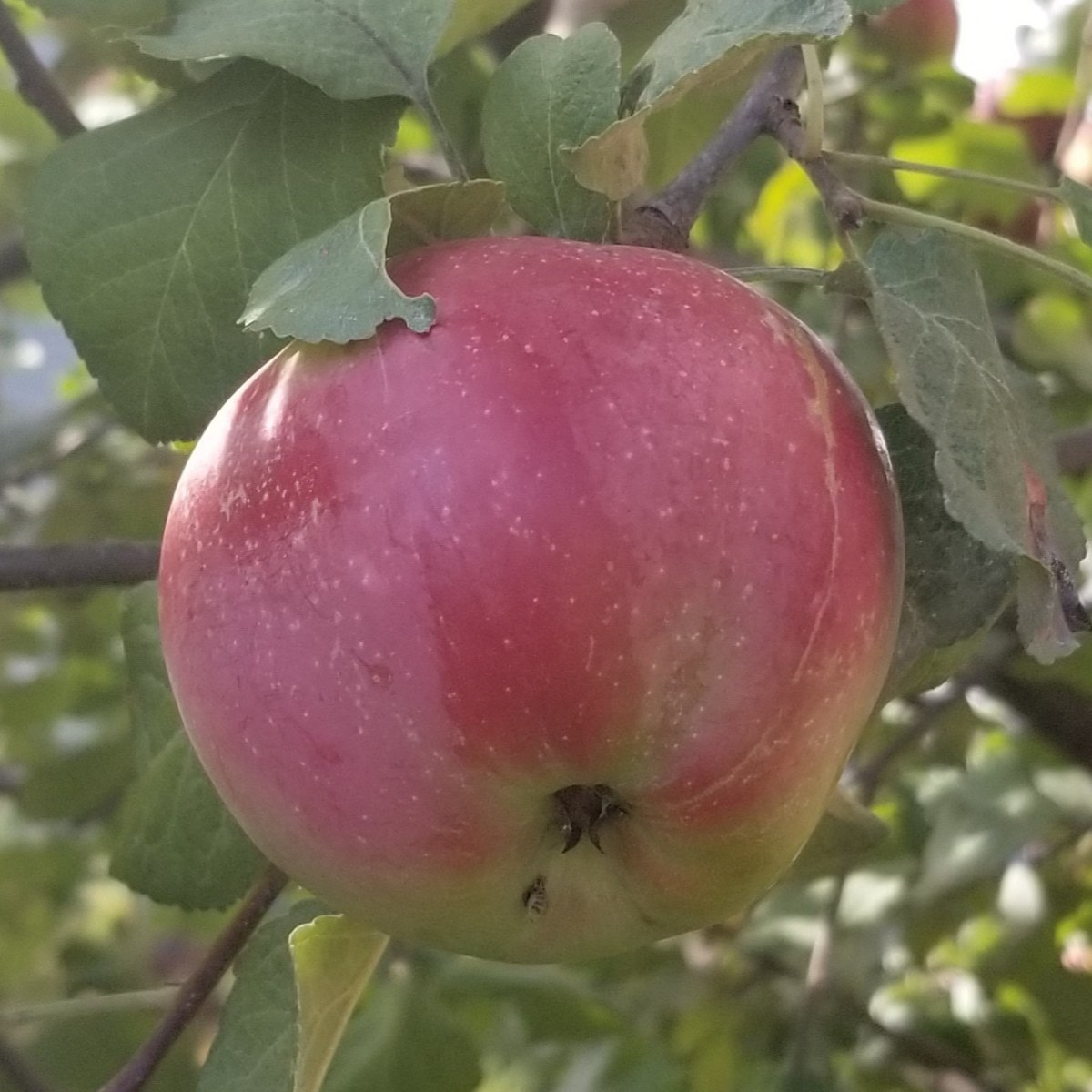 Ripe apple hanging from the branch of a tree in my neighbor's front yard. Very inspiring for both writing and baking in New  England as fall approaches.