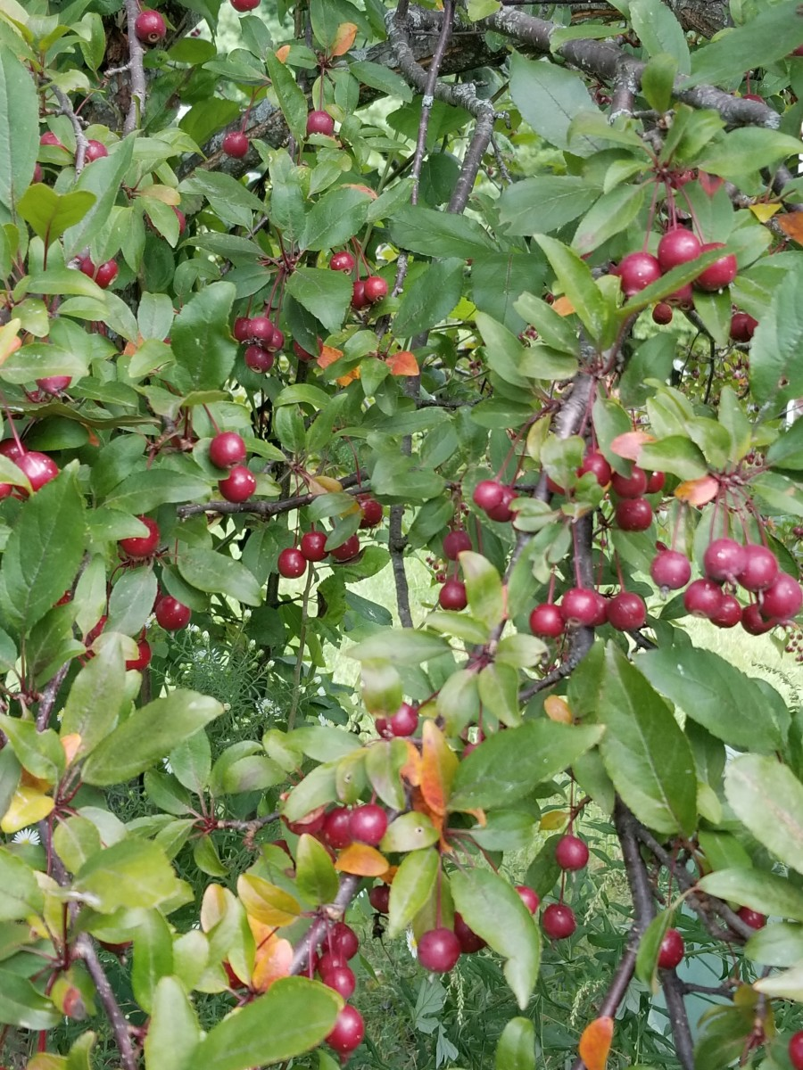 Cranberries ripening on a tree in my co-housing community.